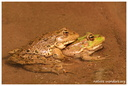Anurans (Frogs & Toads)