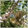 Papilio machaon Linaeus, 1758 ♀♂ ♥
