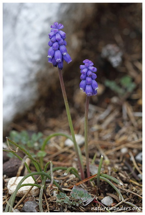 Muscari neglectum Guss. ex Ten., 1842