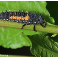 <b><i>Harmonia axyridis</b></i> Pallas, 1773 (larva - 4th stage)||<img src=./_datas/t/6/y/t6ynvw9sux/i/uploads/t/6/y/t6ynvw9sux//2011/06/06/20110606211112-60d2ac02-th.jpg>