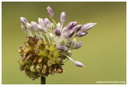 Allium vineale Linnaeus, 1753