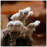 Schizophyllum commune Fr., 1815