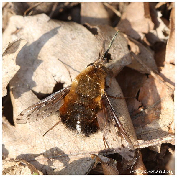Bombylius discolor-Meise.jpg