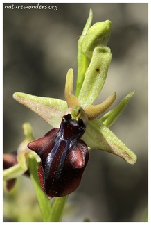 Ophrys mammosa Desfontaines, 1807