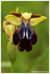 Ophrys iricolor Desf., 1807