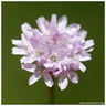Armeria canescens (Host) Boiss., 1848