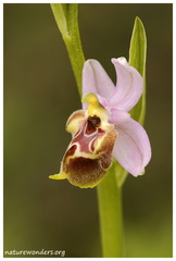 Ophrys episcopalis Poiret, 1816