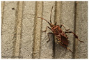 Leptoglossus occidentalis Heidemann, 1910