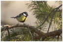 Parus major major Linnaeus, 1758 ♂