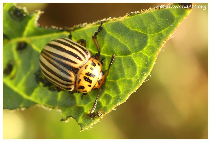 Колорадский жук инсектициды